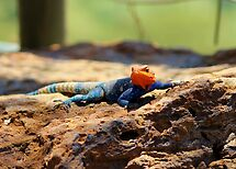 Vibrant Male Agama Lizzard!!! by mrsjaques