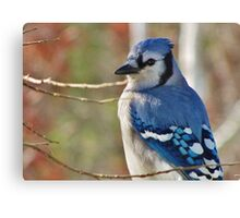 Blue Jay in Autumn Canvas Print