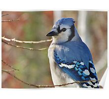 Blue Jay in Autumn Poster