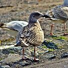 Juvenile Herring Gull by Susan Dailey