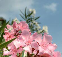 Pink Oleander Blossom, Riva Del Garda by Colin Metcalf