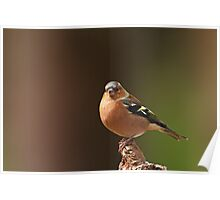 Male Chaffinch on Branch Poster