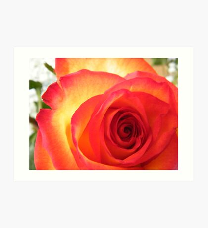 Red and Yellow Rose Art Print