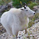 A Smiling Mountain Goat by Kent Burton