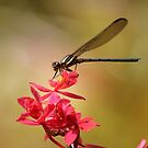 Dragonfly by by Joel Fourcard