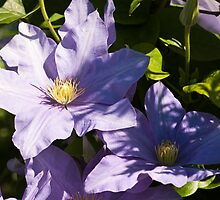 Blue Clematis by Wealie
