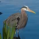 Great Blue Heron 13 by Aler