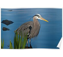 Great Blue Heron 13 Poster