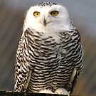 Juvenile Snowy Owl by Dorothy Thomson