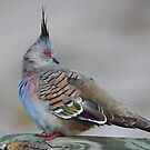 ''Crested Pigeon'' by bowenite