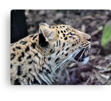 Amur Leopard Growl Canvas Print