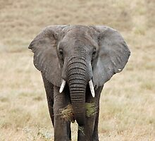 Serengeti Elephant iPhone cover by Brad Francis