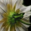 A different perspective of a Daisy by Shienna