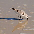 Piping Plover by Robin Lee