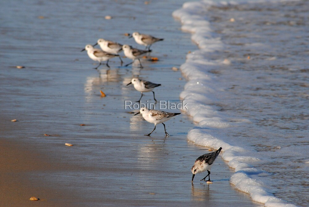 Piping Plovers by Robin Lee