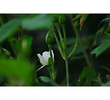 Rose Among Thorns Photographic Print