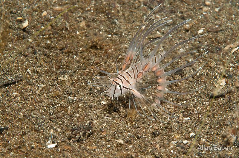Juvenile Lion fish, North Sulawesi, Indonesia by Allan Saben