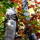 Colorful Fall Birch Trees by Nadine Staaf