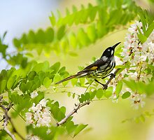 new holland honeyeater - kb by houenying