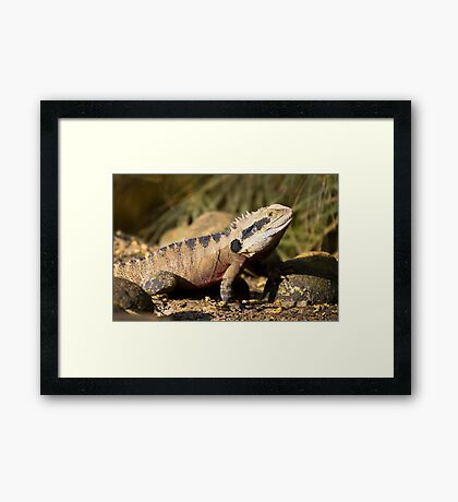 australia dragon Framed Print