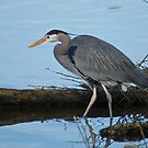 Great Blue Heron 2 by Aler
