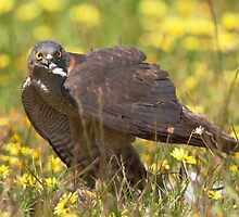 Brown goshawk - native Australian bird by Haggiswonderdog