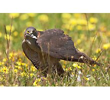 Brown goshawk - native Australian bird Photographic Print