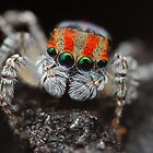 maratus volans (jumping spider) by fishnrobo
