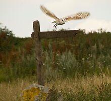 Barn owl on location. by sandyprints