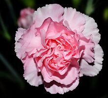 Baby Pink Carnation-012 by WhiteOaksArt