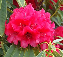 Rhododendron in spring, New-Zealand.  by jos2507