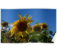 Aging Sunflowers Poster
