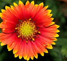 Blanket flower against green by ♥⊱ B. Randi Bailey