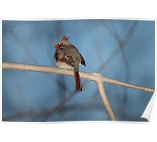 Female Cardinal at Dusk Poster