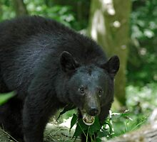 i Black Bear II  by Gary L   Suddath