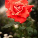 Peach Rose by TyTheTerrible