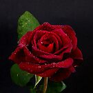 Deep Red Rose by DPalmer