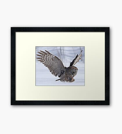 The plight of the great grey owl Framed Print
