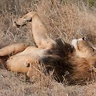 Sabi Sabi - Lion Roll by Samantha Bailey