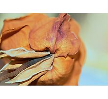 drying rose Photographic Print