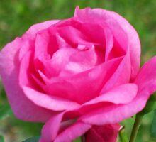 Pink Rose by kat44