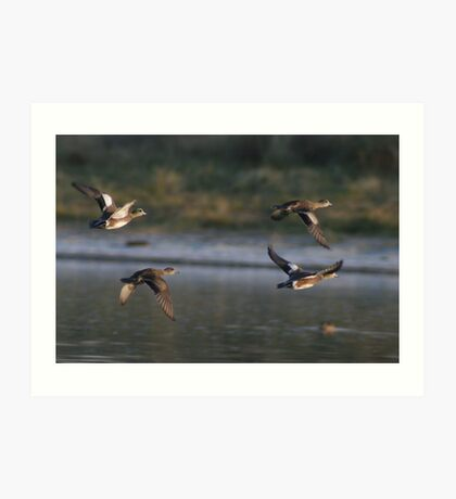 American Wigeons in Flight Art Print