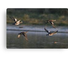 American Wigeons in Flight Canvas Print