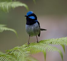 Blue Wren by Alex Colcheedas