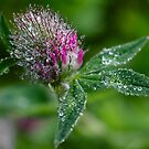 Clover With Dew Drops by WOBBLYMOL