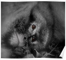 Macaques- close-up Poster