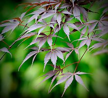 Japanese Maple by Kym Howard