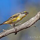 Striated Pardalote-2 by Rick Playle