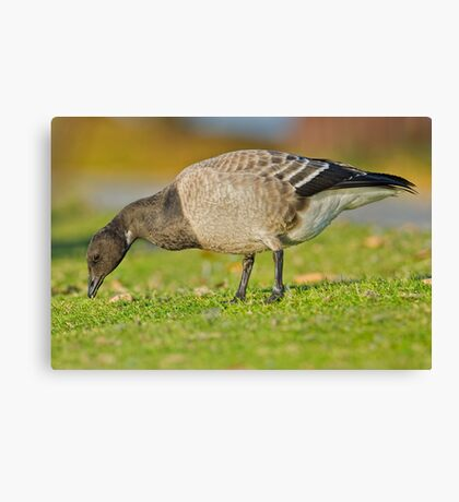 New goose in town Canvas Print