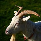 Welsh Goat by Erland Howden